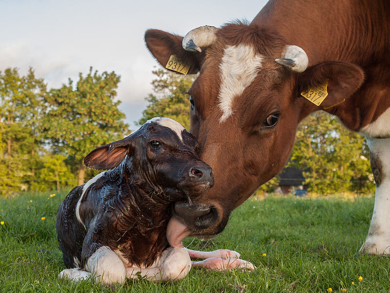 799px-New_born_Frisian_red_white_calf