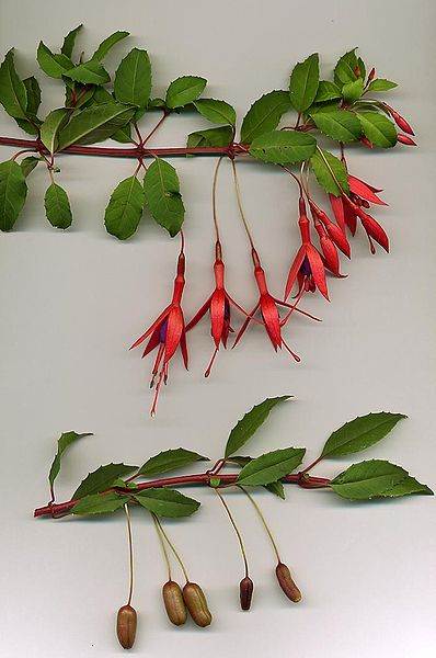 398px-Fuchsia_magellanica