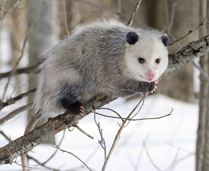 730px-Opossum_2