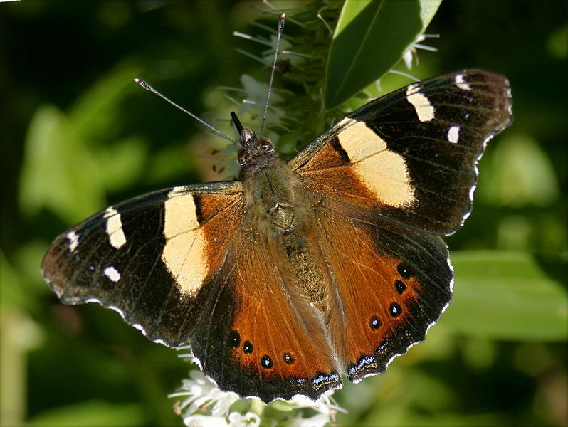 798px-Yellow_Admiral_05