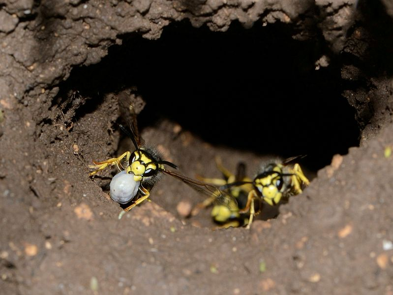 799px-Vespula_germanica_nest_1