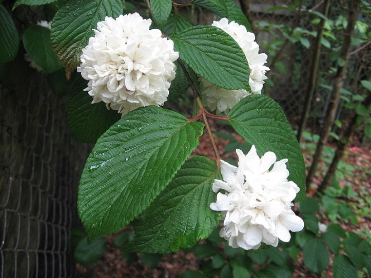 800px-Snowball_bush_flowers