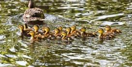 duckling-3451729_640