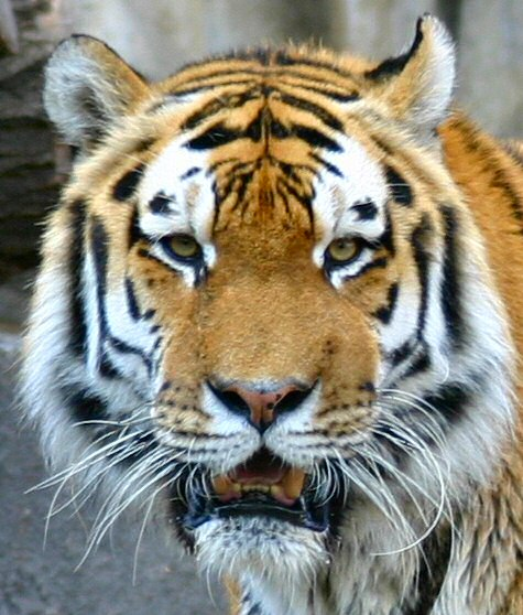 Tiger_symmetry