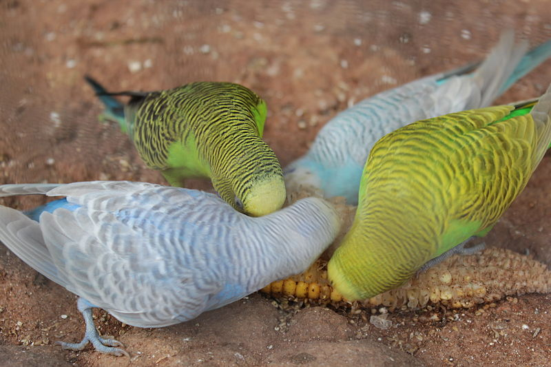 800px-Budgies