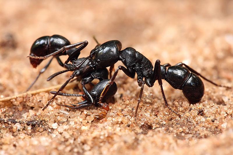 800px-Plectroctena_sp_ants