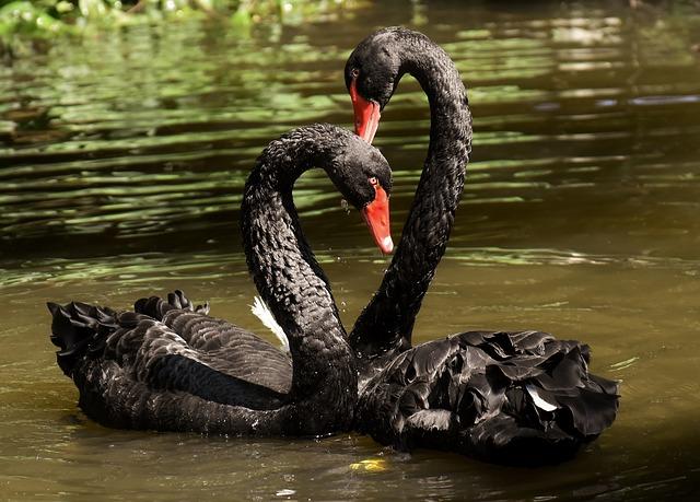 swan-3531856_640