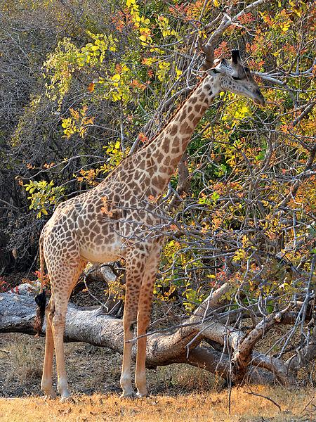450px-Giraffa_camelopardalis_thornicrofti