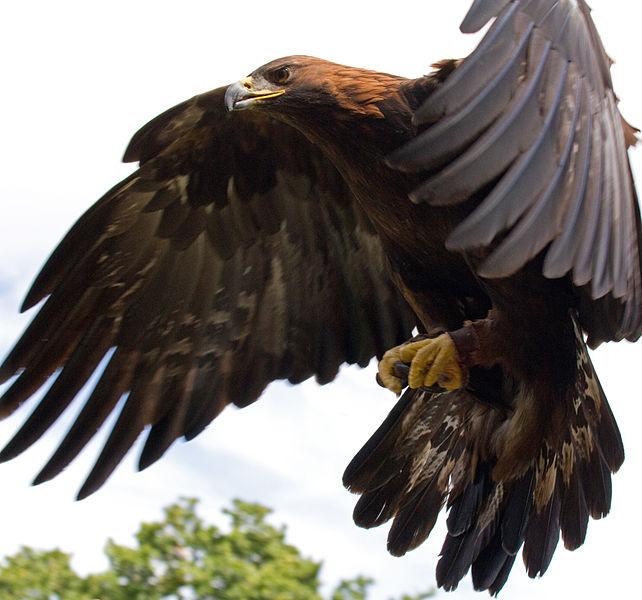 642px-Golden_Eagle_in_flight