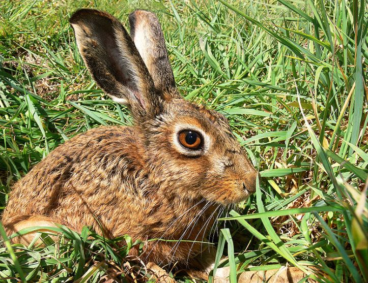 778px-Brown_Hare444