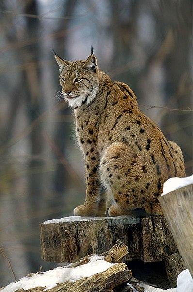 398px-Lynx_lynx2
