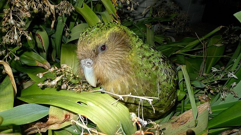 800px-Kakapo