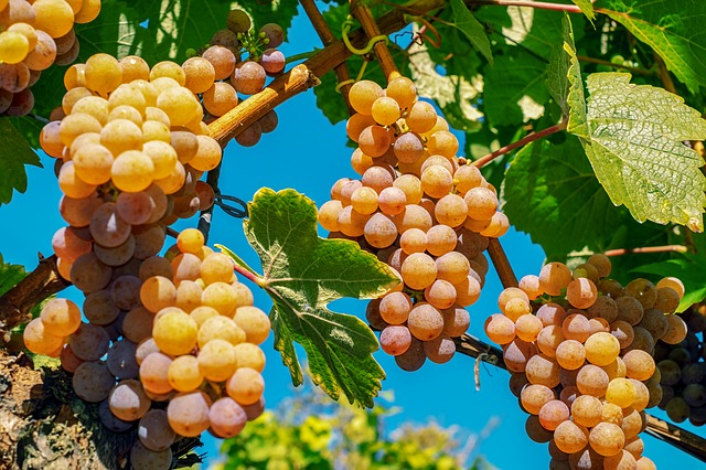 grapes-3648343_640
