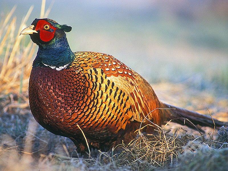800px-Common_Pheasant